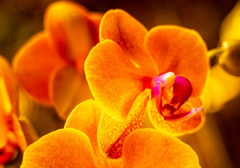 Photograph of orange orchids